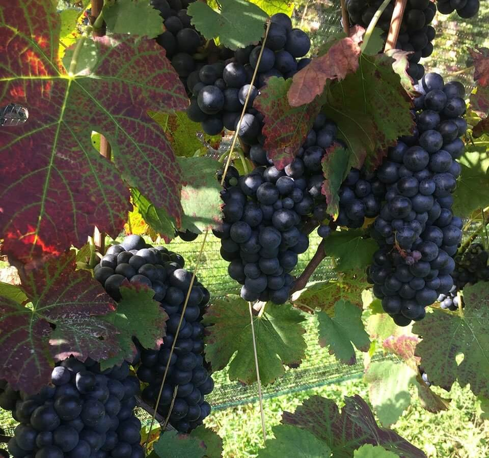 Arterra Vintage wine club, clusters of purple grapes and colorful grape leaves